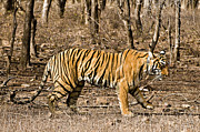 The Tiger Metal Prints - Tigress Metal Print by Copyright@JGovindaraj