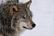 Canine Metal Prints - Timber Wolf Metal Print by Michael Cummings