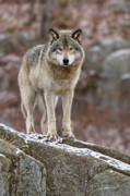 Timber Wolf On Rocks Print by Michael Cummings