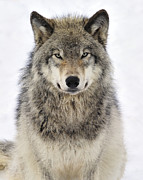 Canis Lupus Posters - Timber Wolf Portrait Poster by Tony Beck