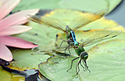 Dragonflies Mating Photos - Time Out by Fraida Gutovich