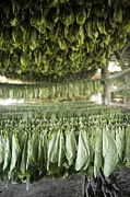 Greater Antilles Photos - Tobacco Farming by Photostock-israel