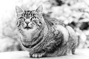 Tomcat Print by Frank Tschakert