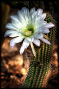 White Cactus Flower Framed Prints - Torch Cactus - Echinopsis Candicans Framed Print by Saija  Lehtonen