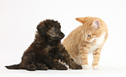 Toy Dog Posters - Toy Poodle Puppy With Kitten Poster by Mark Taylor