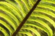 Hairy Stem Prints - Tree Fern Frond Print by Greg Vaughn - Printscapes