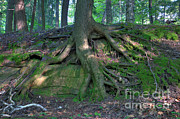Tree Roots Photo Posters - Tree Growing Over A Rock Poster by Ted Kinsman