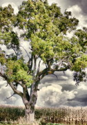 Big Tree Photos - Tree of Dreams by Emily Stauring