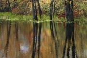 Woodland Scenes Posters - Trees And Fall Foliage Reflected Poster by Medford Taylor