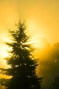 Sun Rise Prints - Trees In Fog At Sunrise Print by David Nunuk