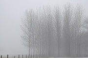 Tree Allee Framed Prints - Trees in the fog Framed Print by Mats Silvan
