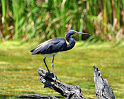 Gray Heron Framed Prints - Tricolored Heron Framed Print by Al Powell Photography USA
