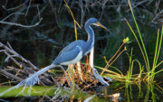 Louisiana Heron Posters - Tricolored Heron Poster by David Lee Thompson