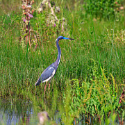Louisiana Heron Framed Prints - Tricolored Heron Framed Print by Louise Heusinkveld