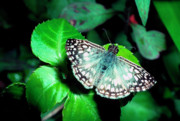 Patterned Photo Framed Prints - Tropical Checkered Skipper Framed Print by Thomas R Fletcher