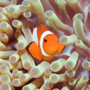 Clownfish Prints - Tropical fish Clownfish Print by MotHaiBaPhoto Prints