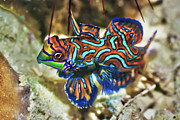 Indian Posters - Tropical fish Mandarinfish Poster by MotHaiBaPhoto Prints