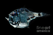 Mesopelagic Art - Tropical Hatchetfish by Danté Fenolio