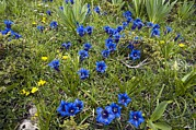 Blue Trumpet Flower Photos - Trumpet Gentian (gentiana Dinarica) by Paul Harcourt Davies