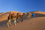 Middle Eastern Culture Framed Prints - Tuareg Camel Train, Sahara Desert, Morocco Framed Print by Peter Adams