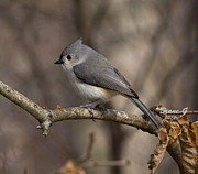 Diane Giurco - Tufted Titmouse