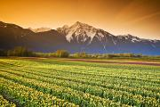 British Columbia Posters - Tulip Cultivation, British Columbia Poster by Richard Wear