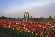Field Of Flowers Framed Prints - Tulip Field And Windmill Framed Print by Natural Selection Craig Tuttle