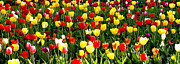 Tulip Garden University Of Pittsburgh  Print by Thomas R Fletcher
