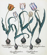 Monocotyledon Photos - Tulips by Georgette Douwma