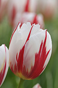 Singly Framed Prints - Tulips Framed Print by Matthias Hauser
