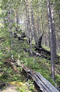 Flattened Prints - Tunguska Forest Print by Ria Novosti