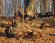 Hen Turkeys Posters - Turkey Hill Poster by Peg Runyan