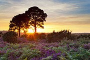 Braken Posters - Two trees in the New Forest at sunset Poster by Richard Thomas