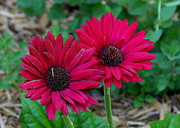 Two Zinnias In The Shade Print by Paula Tohline Calhoun
