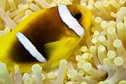 Red Sea Anemonefish Posters - Twoband Anemonefish Poster by Dimitris Neroulias
