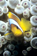 Red Sea Anemonefish Posters - Twoband Anemonefish Poster by Louise Murray