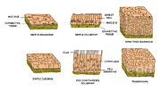 Squamous Posters - Types Of Epithelial Cells Poster by Science Source