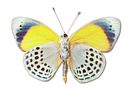 Multi Colored Posters - Underside Of Brush-footed Butterfly Of Peru Poster by MajchrzakMorel