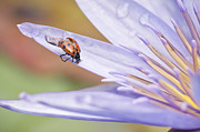 Ladybeetle Photos - Unfurling For Flight by Priya Ghose