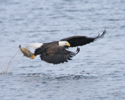 Eagles In Flight Prints - Up Up and Away Print by Gerry Sibell