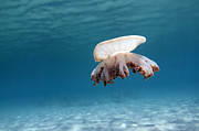 Upside Down Framed Prints - Upside Down Jellyfish In Caribbean Sea Framed Print by Karen Doody