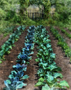 Vegetable Garden Prints - Vegetable Garden Print by Jill Battaglia