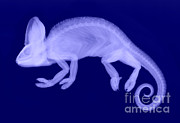 Veiled Prints - Veiled Chameleon X-ray Print by Ted Kinsman