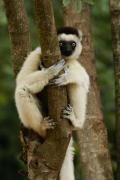 Madagascar Framed Prints - Verreauxs Sifaka Framed Print by Michele Burgess