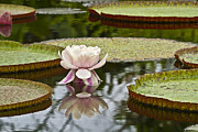 Water Lilly Photos - Victoria II by Heiko Koehrer-Wagner