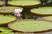 Water Lilly Photos - Victoria IV by Heiko Koehrer-Wagner