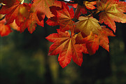 Physiology Art - Vine Maple Leaves To Displaying Bright by Melissa Farlow