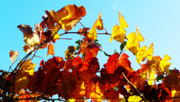 Winery Photography Prints - Vineyard 12 Print by Xueling Zou