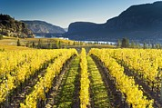 Grapevines Prints - Vineyard, Canada Print by David Nunuk