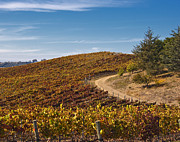 Wine Making Prints - Vineyard in Autumn Print by David Buffington